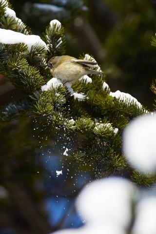 Желтоголовый королёк Фотограф: VictorV Goldcrest  Просмотров: 294 Комментариев: 0