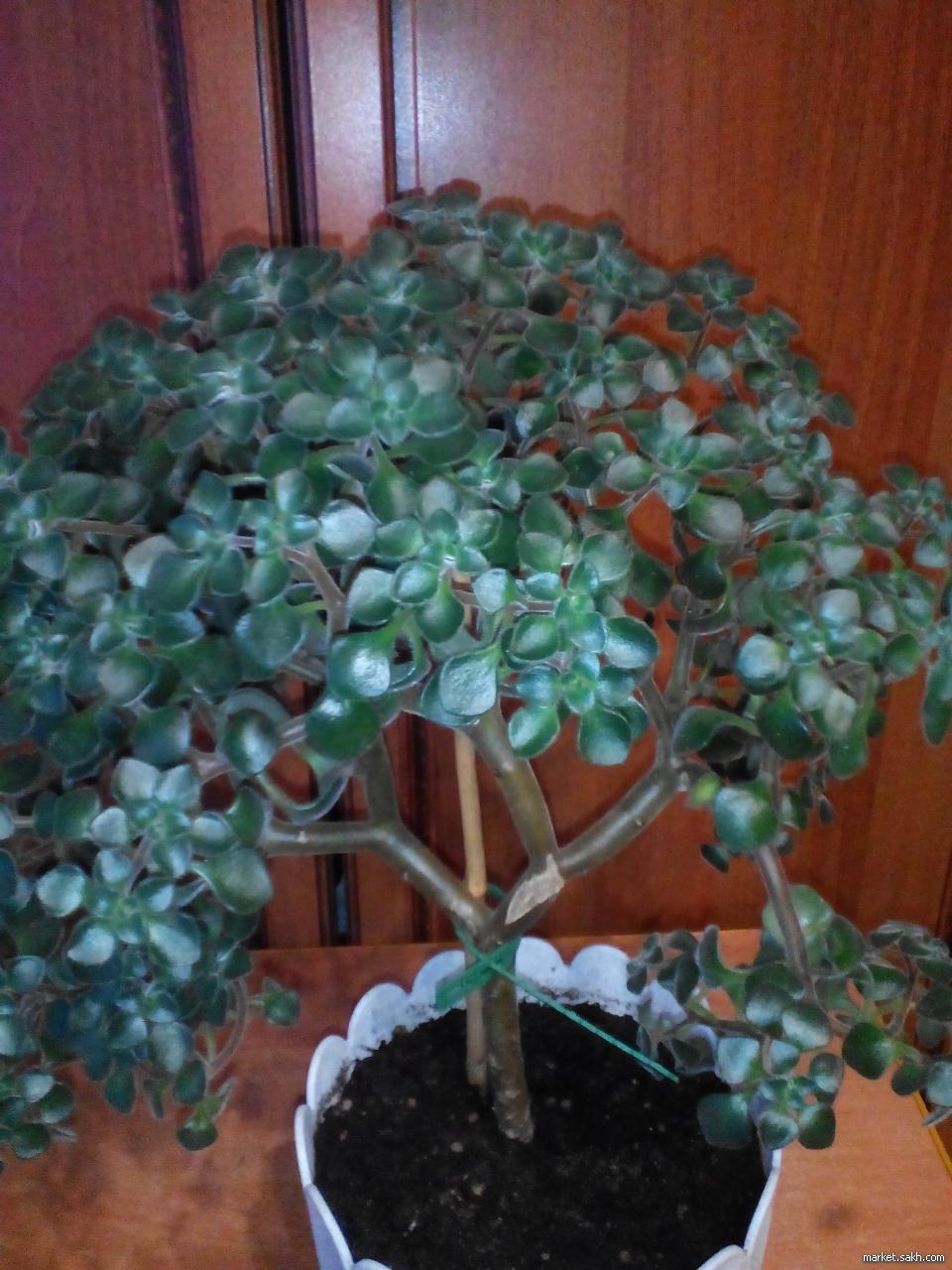 Фото комнатного цветка с названием дерево любви