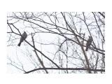 Название: Бюльбюли рыжеухие Фотоальбом: Птички Категория: Животные Фотограф: VictorV  Время съемки/редактирования: 2021:04:03 17:28:42 Фотокамера: SONY - ILCA-77M2 Диафрагма: f/6.3 Выдержка: 1/2000 Фокусное расстояние: 1600/10    Просмотров: 36 Комментариев: 0