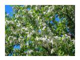 Яблони в цвету Фотограф: vikirin  Просмотров: 2490 Комментариев: 0