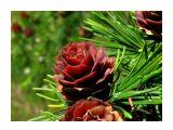 Шишечки лиственницы Фотограф: vikirin  Просмотров: 5092 Комментариев: 0