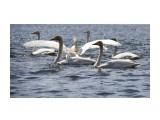 Лебеди в Охотском  Просмотров: 1886 Комментариев: 0