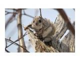Белка-летяга или летучая белка (Pteromys volans) Фотограф: Tsygankov Yuriy  Просмотров: 248 Комментариев: 2
