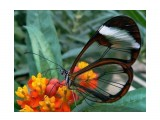 Название: Грета Ото, стеклянная бабочка. Фотоальбом: Живности Категория: Макросъёмка  Просмотров: 75 Комментариев: 0
