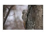 Белка-летяга или летучая белка (Pteromys volans) Фотограф: Tsygankov Yuriy  Просмотров: 175 Комментариев: 0
