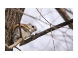 Белка-летяга или летучая белка (Pteromys volans) Фотограф: Tsygankov Yuriy Модница:)  Просмотров: 198 Комментариев: 0