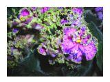 Сенполия от Санкоустов Фотограф: vikirin  Просмотров: 1439 Комментариев: 0