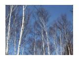 В березовом лесу Фотограф: vikirin  Просмотров: 2707 Комментариев: 0