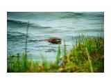 Ондатра Фотограф: В.Дейкин  Просмотров: 1660 Комментариев: 0