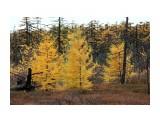 Тундра в дождь.. мокрые деревья как костерки... Фотограф: vikirin  Просмотров: 1785 Комментариев: 0