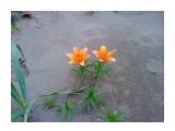 Лилии на песке..  Фотограф: vikirin  Просмотров: 3225 Комментариев: 0