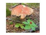 Белый гриб переросток  Просмотров: 61 Комментариев: 0