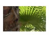 финиковая пальма Фотограф: NIK  Просмотров: 310 Комментариев: 0