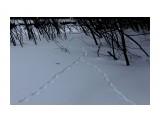Лиса неутомимо петли вьет в поисках зайчатинки... Фотограф: vikirin  Просмотров: 1335 Комментариев: 0