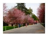Южный  Парк. Сакура цветёт.   Просмотров: 140  Комментариев: 0