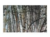 В березовом... Фотограф: vikirin  Просмотров: 1944 Комментариев: 0
