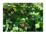Садовая черная малина... под охраной... видна паутина)))  Просмотров: 250 Комментариев: 0