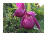 Название: 2017-06-17 16.07.17 Фотоальбом: Венерин башмачок -цветок из детства моей мамы Категория: Цветы  Время съемки/редактирования: 2017:06:17 16:07:18 Фотокамера: Apple - iPhone 6s Диафрагма: f/2.2 Выдержка: 1/359 Фокусное расстояние: 83/20    Просмотров: 604 Комментариев: 0