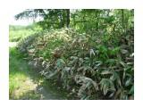 Жаркое лето, высушило листья бамбука! Фотограф: viktorb Окр. Южно-Сахалинска!  Просмотров: 964 Комментариев: 0