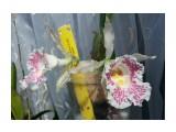 """Название: Trichopilia suavis """"Pololei"""" x sib. (Costa Rica) Фотоальбом: Орхидеи Категория: Цветы Фотограф: Marion  Время съемки/редактирования: 2013:04:22 15:11:57 Фотокамера: SAMSUNG - GT-I9300 Диафрагма: f/2.6 Выдержка: 1/1308 Фокусное расстояние: 37/10   Описание: Select very dark colored flowers of good shape  Просмотров: 2047 Комментариев: 0"""