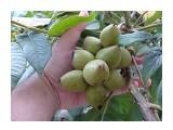 Название: В этом году орехов так рясно-рясно Фотоальбом: Орехи на балконе Категория: Природа Фотограф: Alezzander  Просмотров: 914 Комментариев: 0