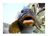 Чудо-юдо Фотограф: gadzila Морской окунь  Просмотров: 2954 Комментариев: 4