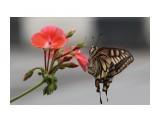 Бабочки  Махаон   Просмотров: 295  Комментариев: 0