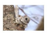 Красотулька Фотограф: Tsygankov Yuriy Белка-летяга или летучая белка (Pteromys volans)  Просмотров: 374 Комментариев: 2