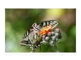 Бабочки  Обед у махаона   Просмотров: 148  Комментариев: 2