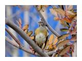 Оливковый дрозд 11 октября  Просмотров: 477 Комментариев: 0