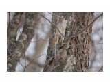 Белка-летяга или летучая белка (Pteromys volans) Фотограф: Tsygankov Yuriy  Просмотров: 76 Комментариев: 0