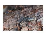 Чёрный пихтовый усач, самка Фотограф: VictorV  Просмотров: 359 Комментариев: 0
