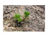Наскальные растения Фотограф: vikirin  Просмотров: 1834 Комментариев: 0
