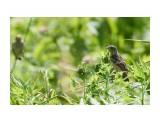 Название: _DSC9881 1 Фотоальбом: Птички Категория: Животные Фотограф: VictorV  Время съемки/редактирования: 2021:07:14 22:08:30 Фотокамера: SONY - ILCA-77M2 Диафрагма: f/6.3 Выдержка: 1/1000 Фокусное расстояние: 4000/10    Просмотров: 10 Комментариев: 0