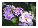 Сенполия Луизиана Лалэбай Фотограф: vikirin  Просмотров: 1671 Комментариев: 3