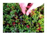 Тундра богата ягодами Фотограф: vikirin  Просмотров: 5323 Комментариев: 1