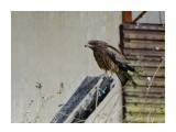 Название: Черный коршун Фотоальбом: Птицы Категория: Животные  Время съемки/редактирования: 2017:10:03 21:24:23 Фотокамера: SONY - DSC-HX300 Диафрагма: f/6.3 Выдержка: 1/250 Фокусное расстояние: 21500/100    Просмотров: 49 Комментариев: 1