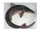 Катран, пятнистая акула.  Просмотров: 120 Комментариев: 0