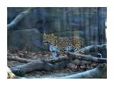 Название: дальневосточный леопард Фотоальбом: скотинки встречные Категория: Животные  Время съемки/редактирования: 2019:11:10 14:28:15 Фотокамера: NIKON CORPORATION - NIKON D5100 Диафрагма: f/5.6 Выдержка: 10/1600 Фокусное расстояние: 550/10   Описание: осталось около 300 .и ВСЁ  Просмотров: 251 Комментариев: 0