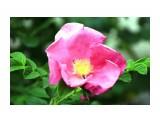цветок морского шиповника  Просмотров: 2169 Комментариев: 0