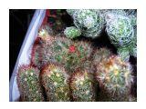 У крохотной мамиллярии-красная ягодка Фотограф: vikirin  Просмотров: 3180 Комментариев: 0