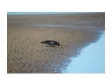 Ворона дербанит раков-отшельников по отливу.. Фотограф: vikirin  Просмотров: 2651 Комментариев: 0