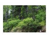 Кусты голубики  Фотограф: vikirin  Просмотров: 1685 Комментариев: 0