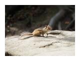 Название: Бурундучок Фотоальбом: Бурундуки Категория: Животные Фотограф: Vangeliya  Просмотров: 253 Комментариев: 0