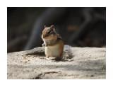 Название: Бурундучок Фотоальбом: Бурундуки Категория: Животные Фотограф: Vangeliya  Просмотров: 238 Комментариев: 0