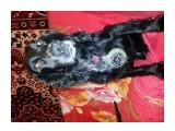 20171002_232549 Русский охотничий спаниель.Работает:Собачья охрана (взрычатка, наркотики) проекты севера Сахалина.  Просмотров: 497 Комментариев: