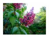 сирень цветёт  Просмотров: 402 Комментариев: 0