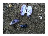 По берегу на песке лежат раскрытые ладошки синих раковин... Фотограф: vikirin  Просмотров: 5233 Комментариев: 0