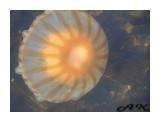 Медузы (1)  Просмотров: 1264 Комментариев: