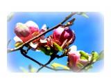 Название: магнолия Фотоальбом: крым Категория: Цветы  Просмотров: 1582 Комментариев: 0